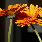 Two orange gerberas